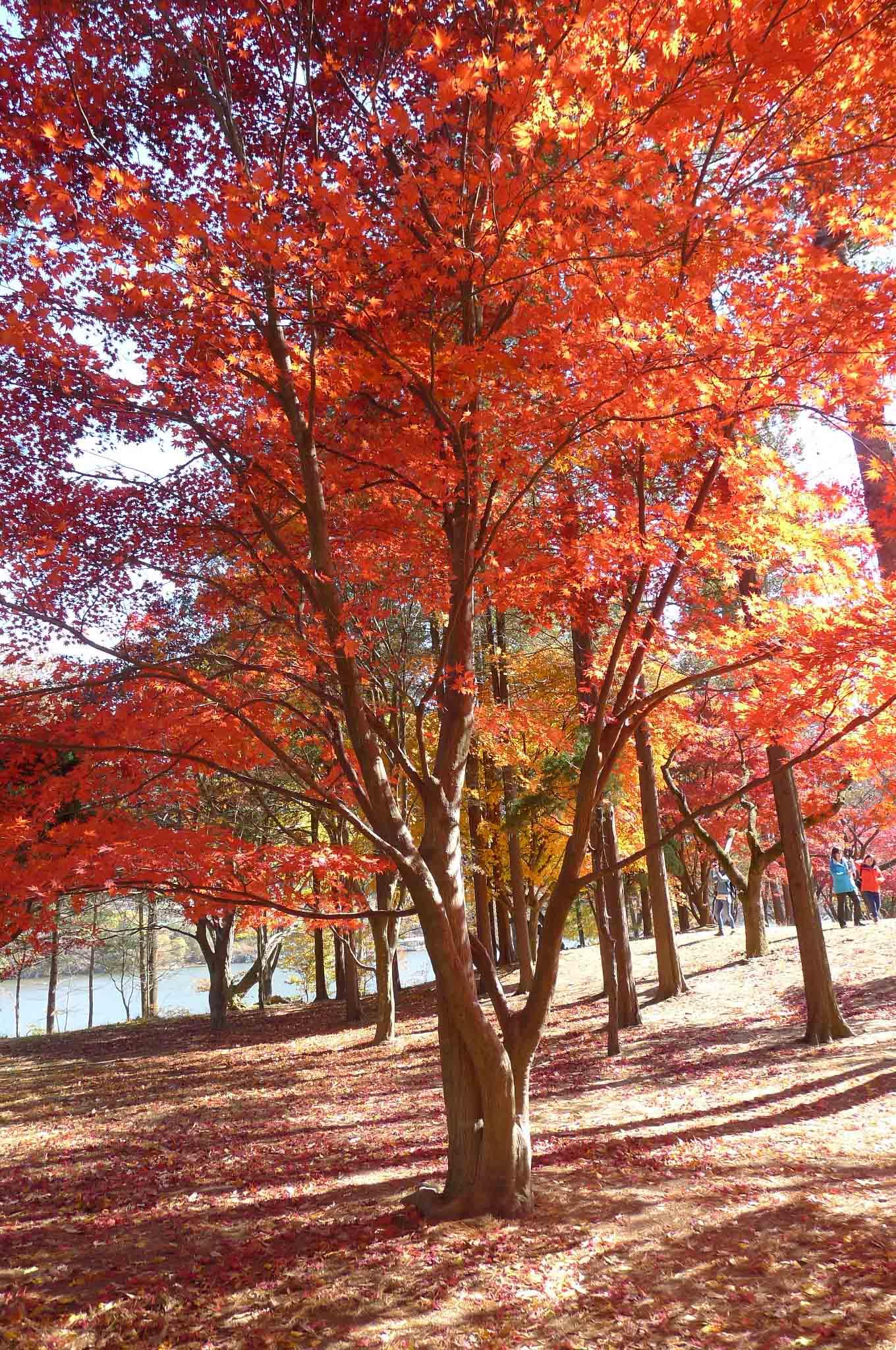 (Seoul)首尔的秋天~枫红的季节~ 南怡岛 Nami Island